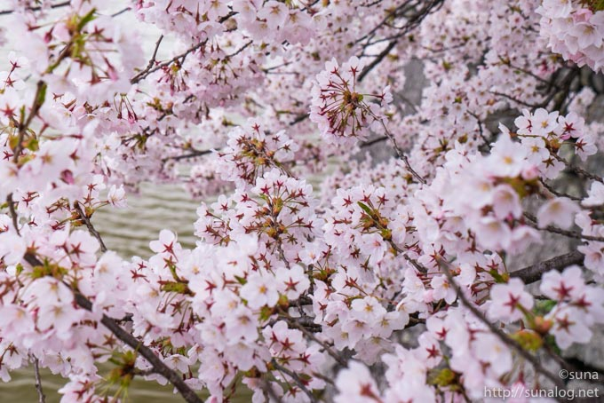 手毬のような桜