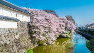 東大手門付近の桜