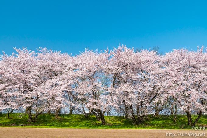 野球グランドの桜