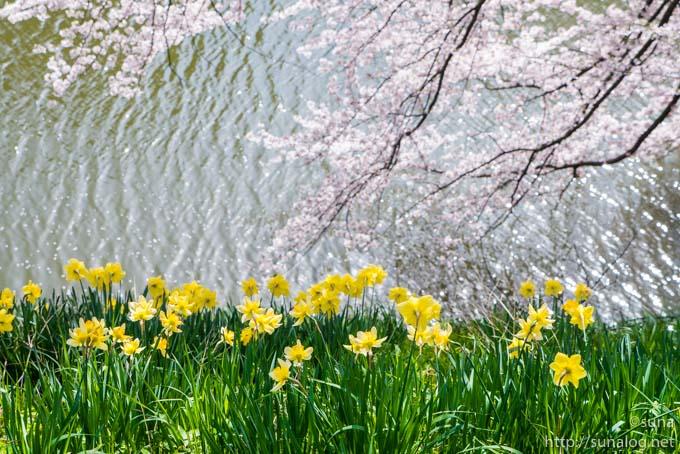 お堀とスイセンと桜