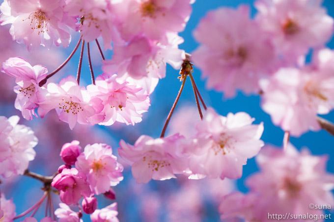 濃いピンク色のしだれ桜の花