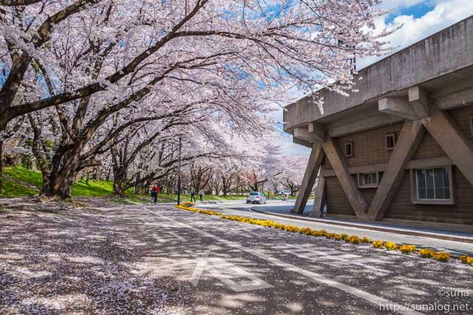 野球場と桜