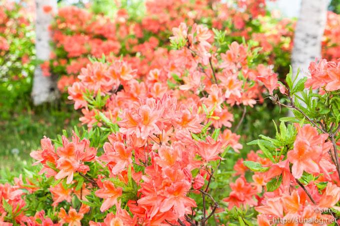 満開のレンゲツツジの花