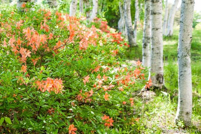 蔵王坊平のレンゲツツジと白樺
