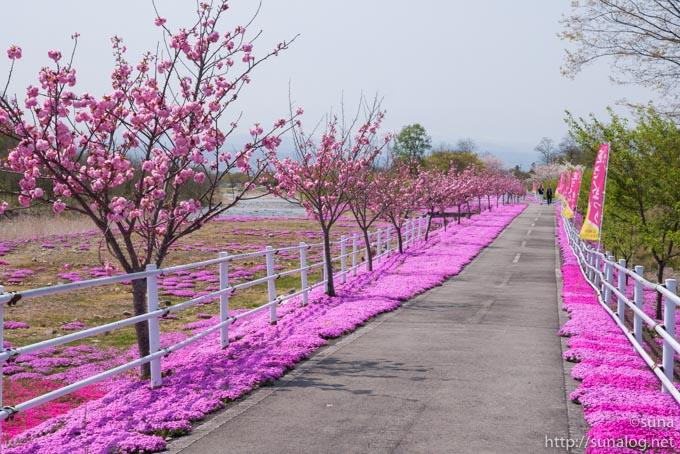 舗装された土手の道と芝桜