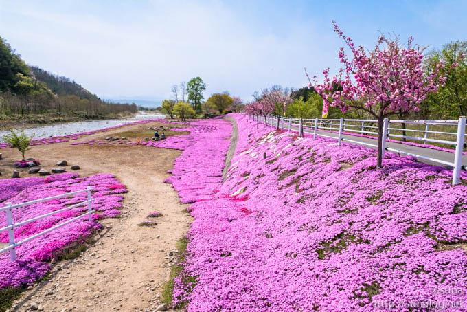 土手に咲く芝桜