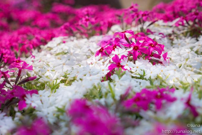 小さな芝桜の花