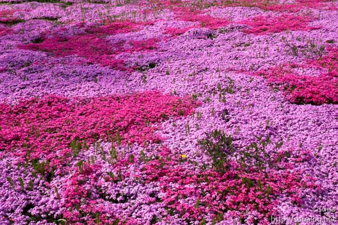 芝桜のピンクの絨毯