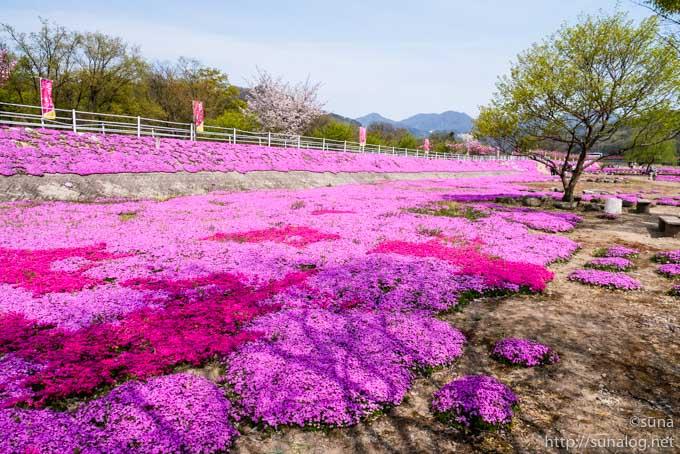 河川敷に広がる芝桜