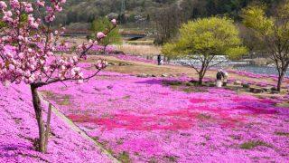 芝桜が咲く立谷川河川敷