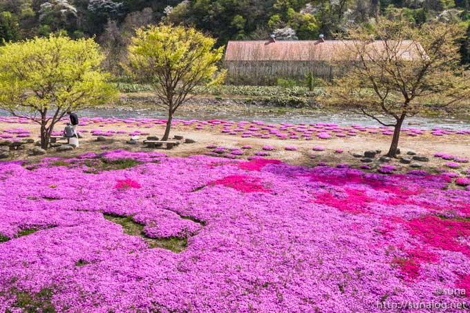 芝桜と立谷川
