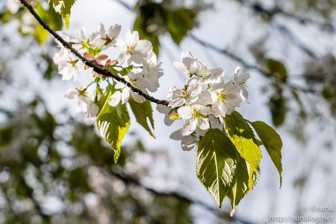 ミヤマカスミザクラの花