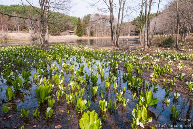 湿地に咲く水芭蕉