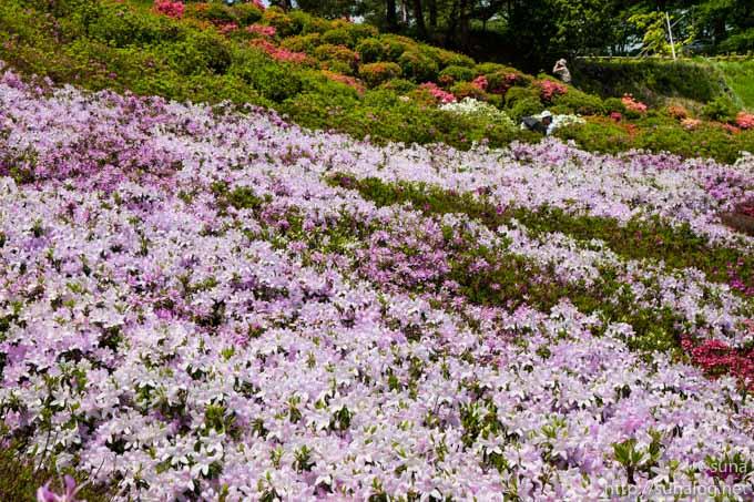 薄紫色のツツジ