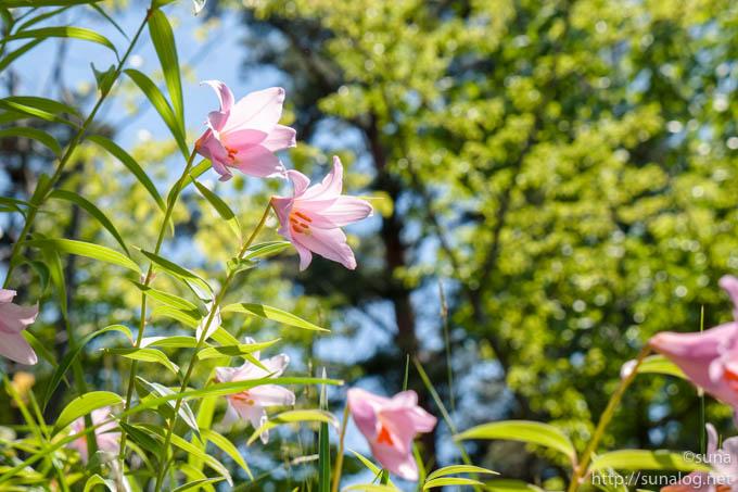 凛と咲くヒメサユリ