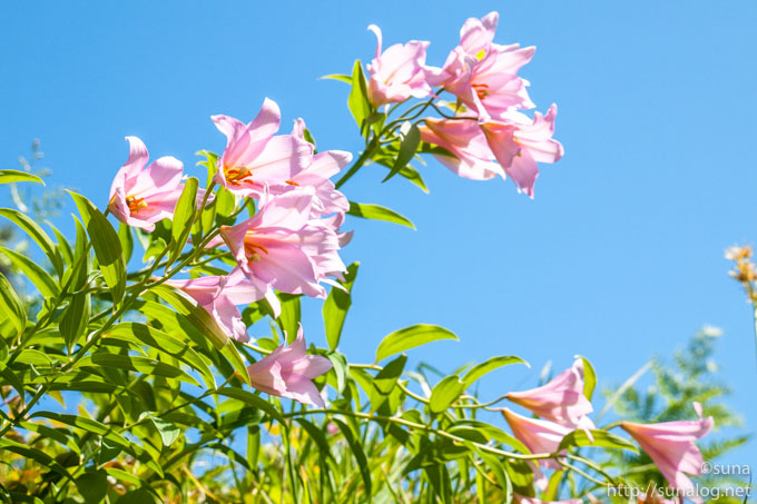 花付きのよいヒメサユリ