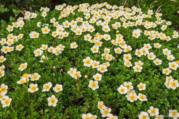 チングルマの花畑