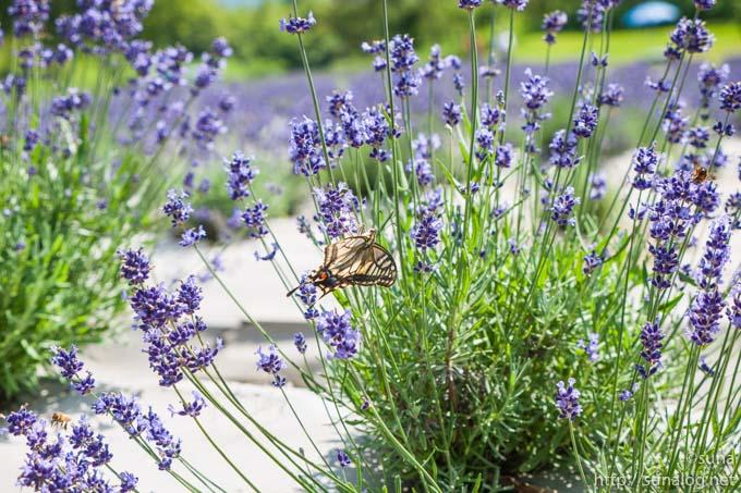 ラベンダーとアゲハチョウとハチ