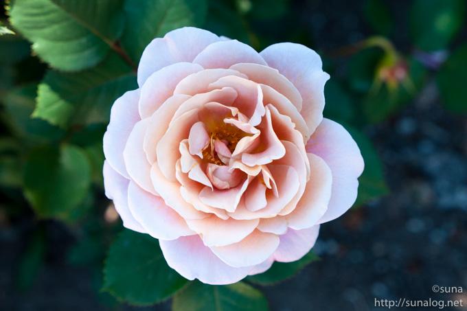 不思議な色のバラ
