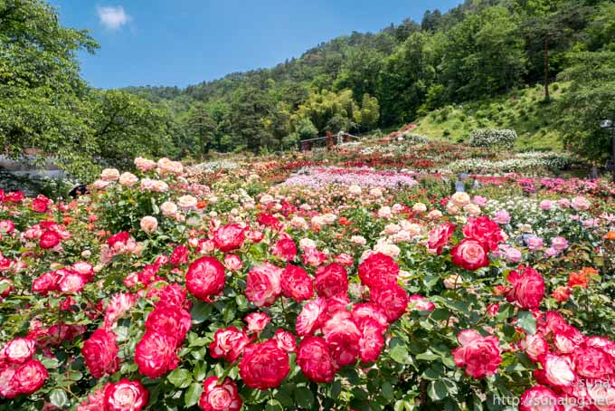 薔薇が咲き乱れる東沢バラ公園