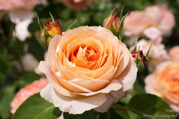 やさしいオレンジ色の薔薇