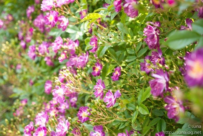 素朴な紫色のバラ