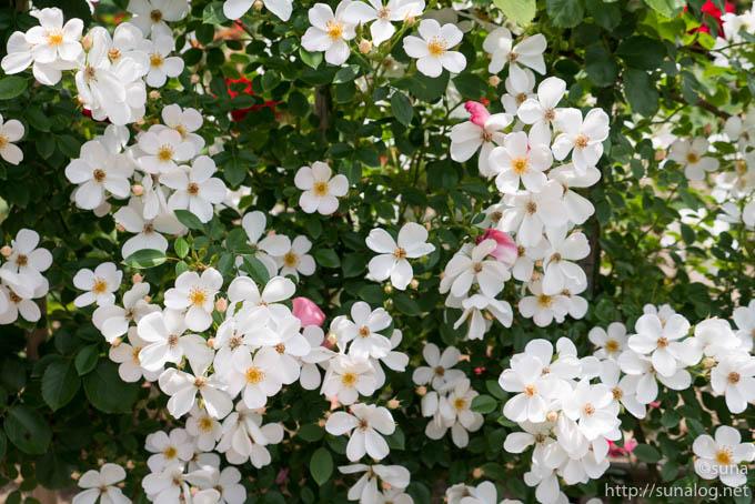 一重の白いバラ「淡雪」