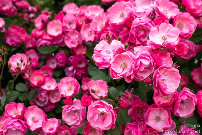 八重のピンクの薔薇