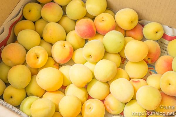 黄色く完熟した梅