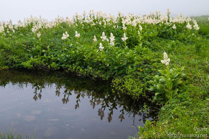 コバイケイソウと池塘