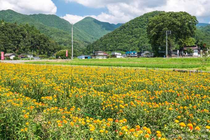 山形の紅花畑