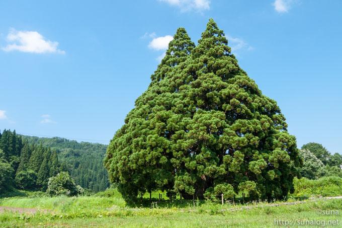 トトロの木こと小杉の大杉