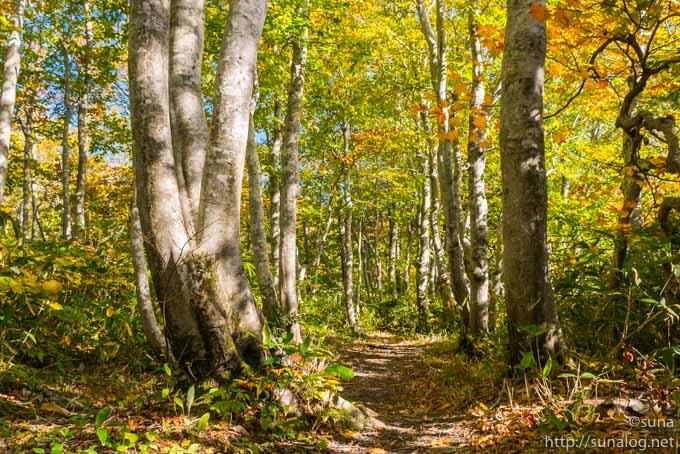 ブナの黄葉と登山道