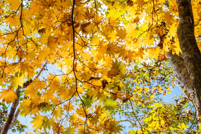 黄葉するカエデ