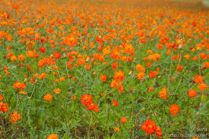 キバナコスモスの花畑