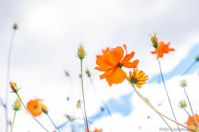 元気なキバナコスモスの花