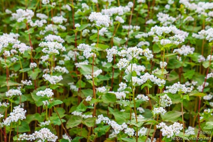 白いそばの花