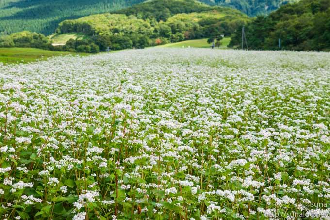 天童高原のそば畑