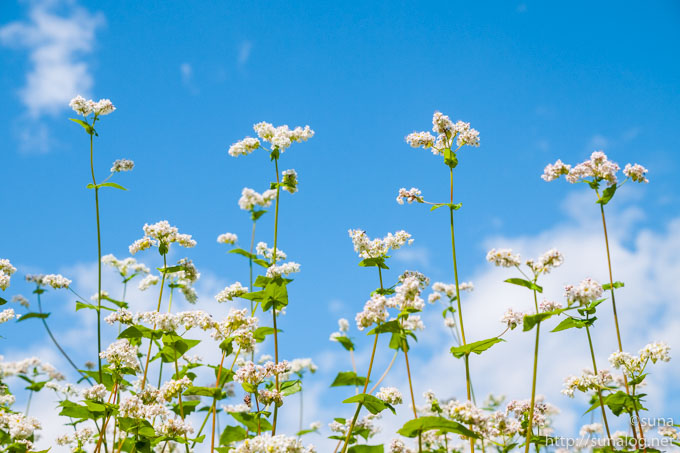 白いそばの花と青空