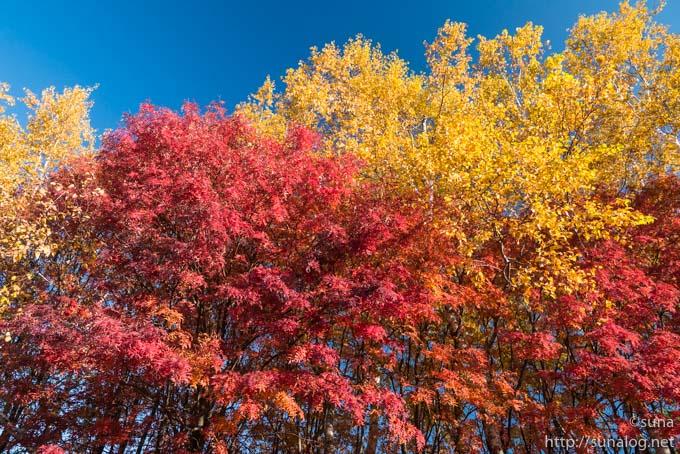 白樺の黄葉とナナカマドの紅葉