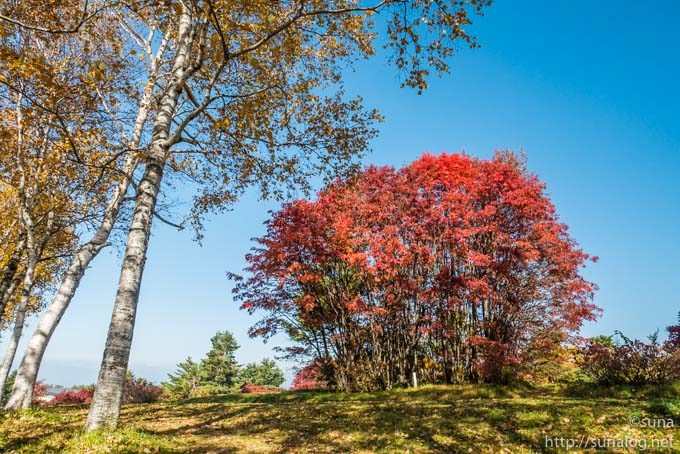 真っ赤い紅葉するナナカマド