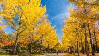 山形県総合運動公園の銀杏並木