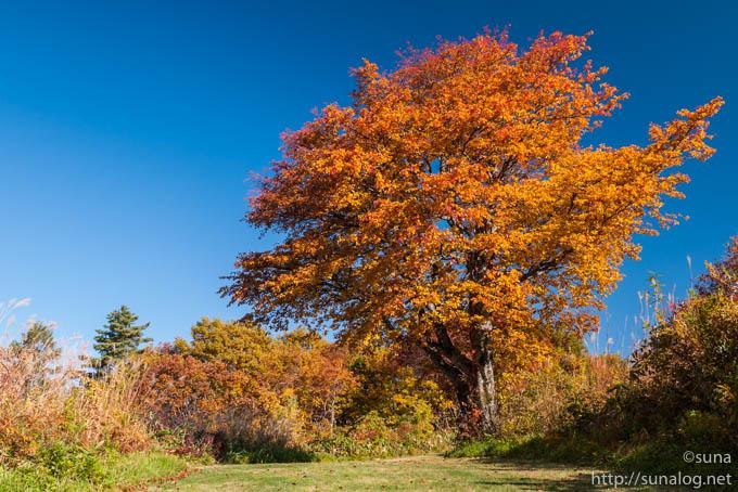 あざやかに紅葉する木