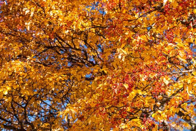 赤い木の実と黄色い葉っぱ
