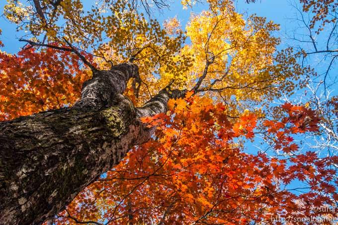 赤や黄に紅葉するカエデ