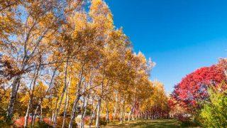 蔵王坊平高原の白樺並木の黄葉