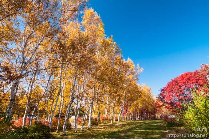 蔵王坊平高原の白樺の黄葉