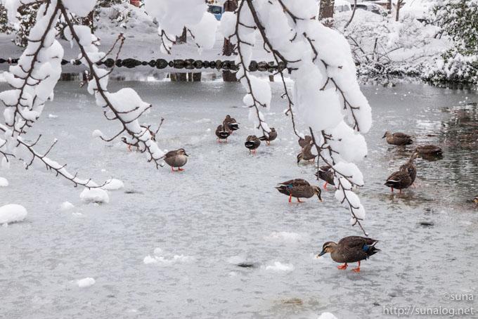 凍る池とカモ
