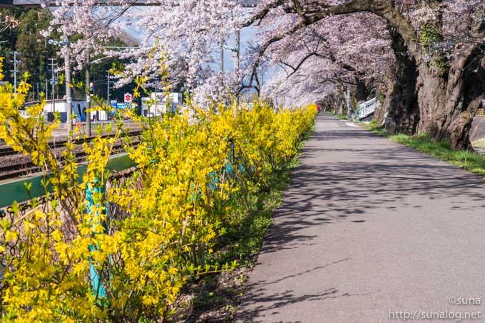 レンギョウと桜の堤