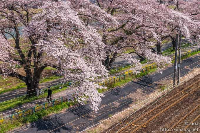 桜と歩行者